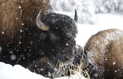 Yellowstone National Park, Bison File