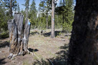 Yellowstone-logging-3.jpg