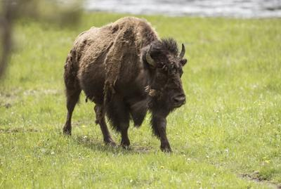Yellowstone Bison File