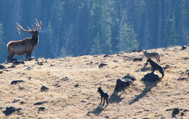 Montana wolf hunt, season two | Environment ...