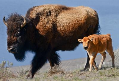Bison hazed back to Yellowstone