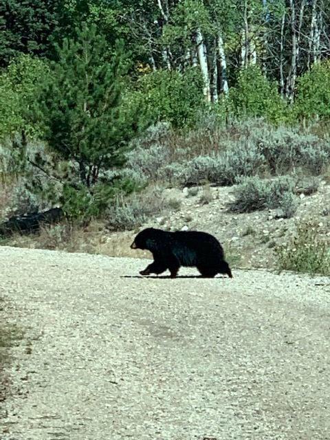 Bear on road near Big Sky