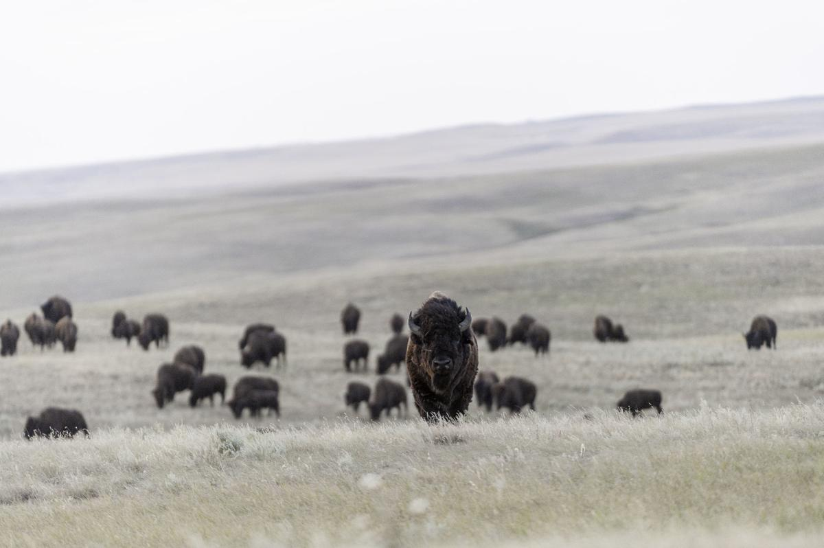 The herd - Fort Peck Tribes Cultural Buffalo Herd Thomas Lee WWF-US.jpg