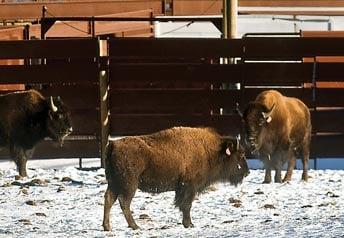 Bison at Corwin Springs