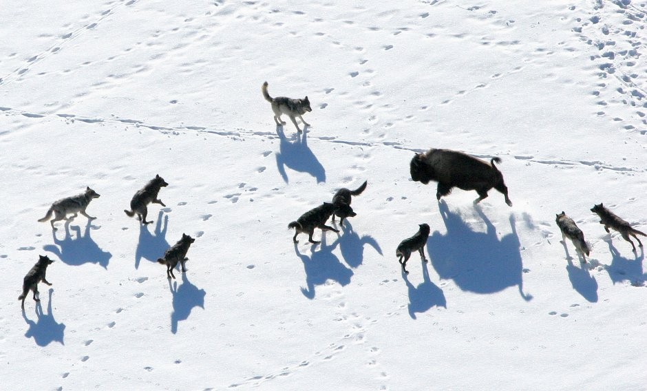 Groups sue FWP commission, halt wolf hunting closure ...