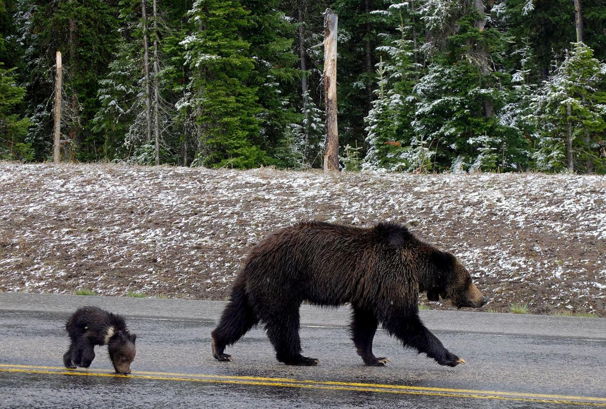 Grizzly 863 and cub