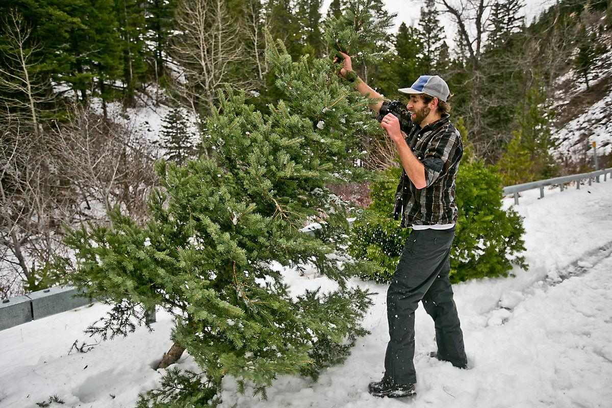 Christmas Trees Available In A Forest Near You