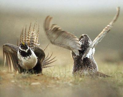 Sage Grouse-Energy Leases