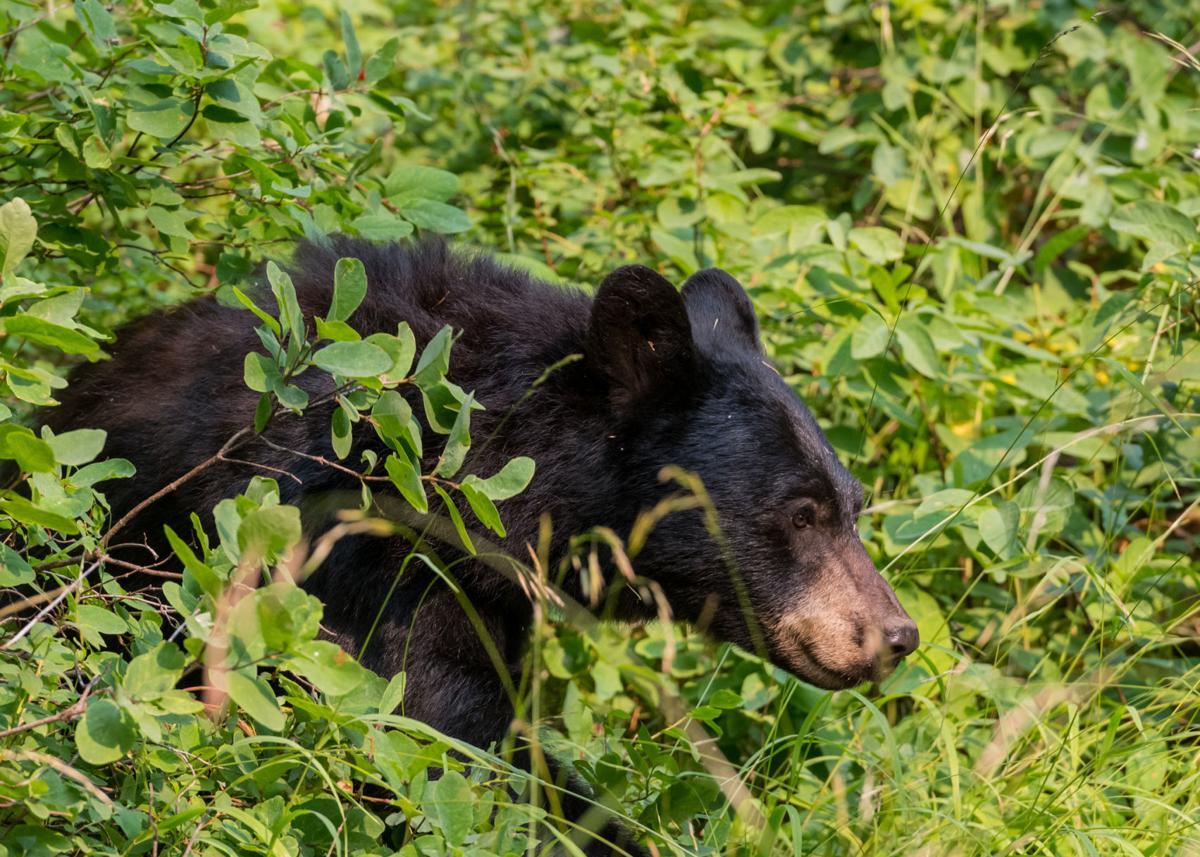 Black bear walks through thick bushes