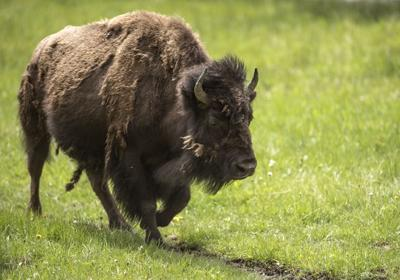 Yellowstone Bison File