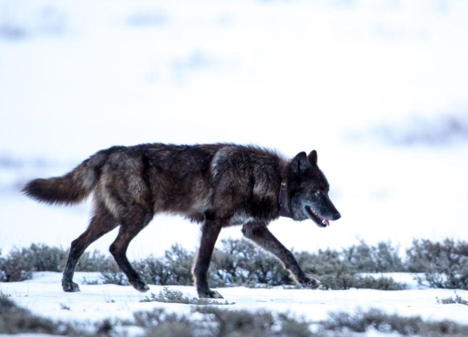 Wolf 831F