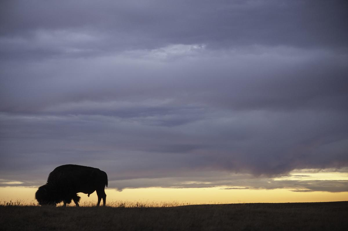 Sunrise Fort Peck Tribes Cultural Buffalo Herd Thomas Lee WWF-US.jpg