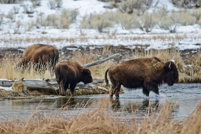 Bison Roam in Yellowstone National Park