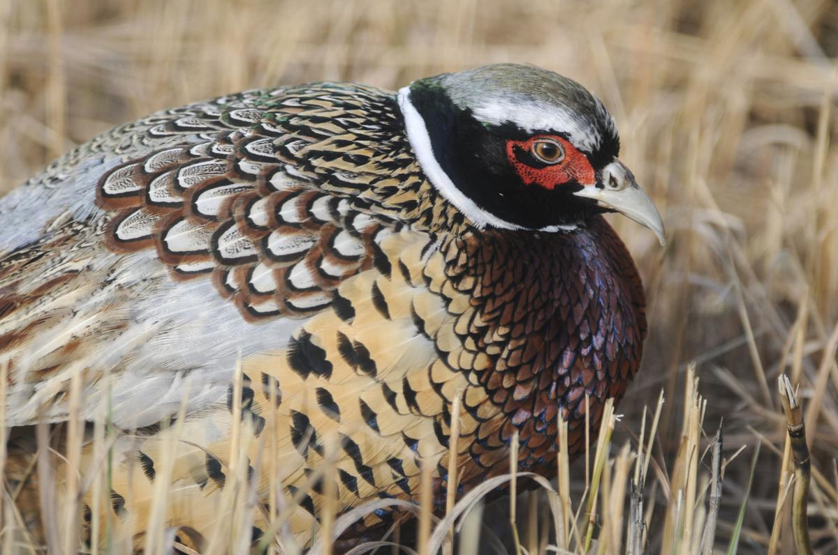 The Opener: Pheasant hunters eager for season to start this