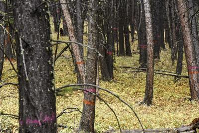 Bozeman Municipal Watershed Project, Trees