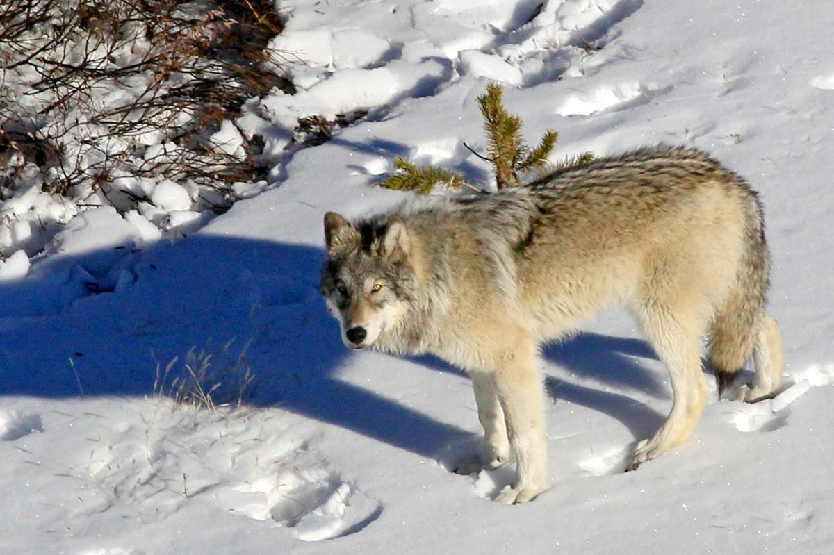 Yellowstone Wolves 002