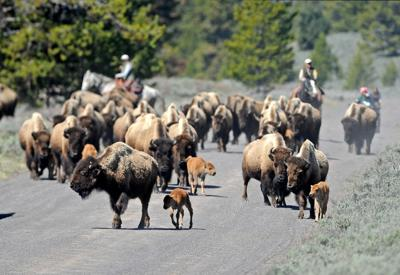 Bison on Horse Butte