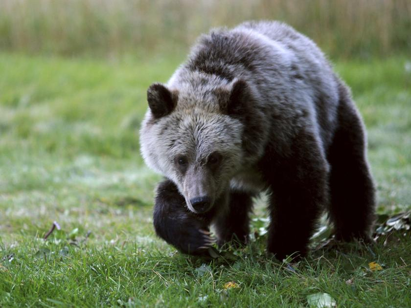 Ninth Circuit rules to restore protections for Yellowstone grizzlies
