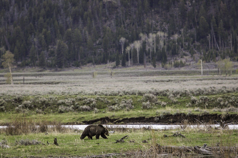 Grizzly, Lamar Valley