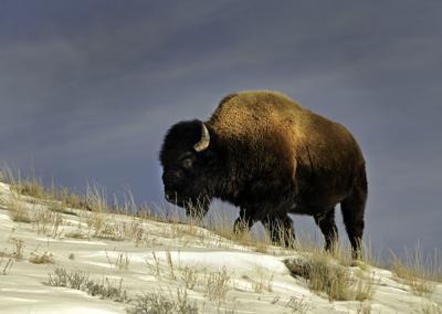 Bison File Winter