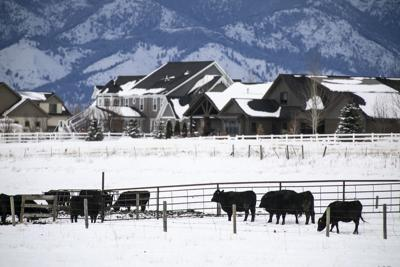 Cattle Grazing near Homes