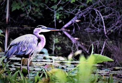 Burchfield: Herons are becoming more visible