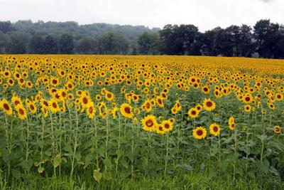 locals and tourists are soaking up sunflowers news