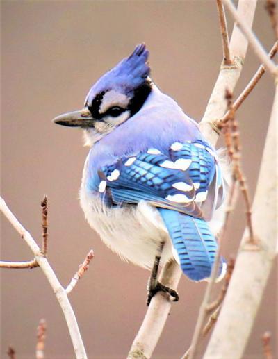Holland's Blue Jay
