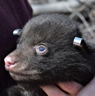 Baby black bear cub