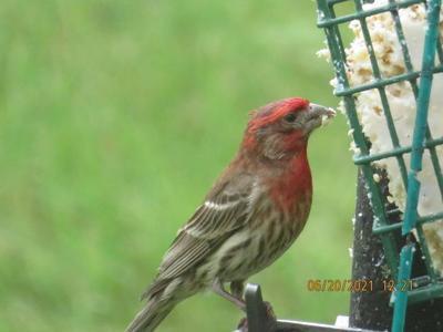 A house finch enjoying a tasty snack.