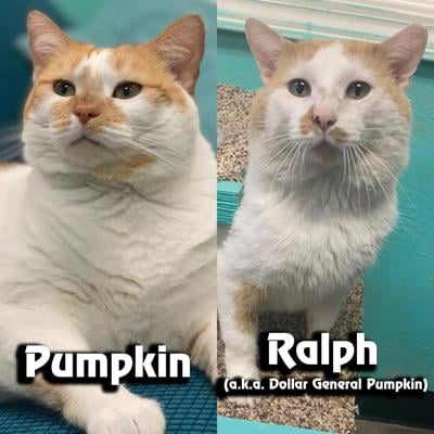 Pumpkin the cat and Ralph the Cat a.k.a. Dollar General Pumpkin