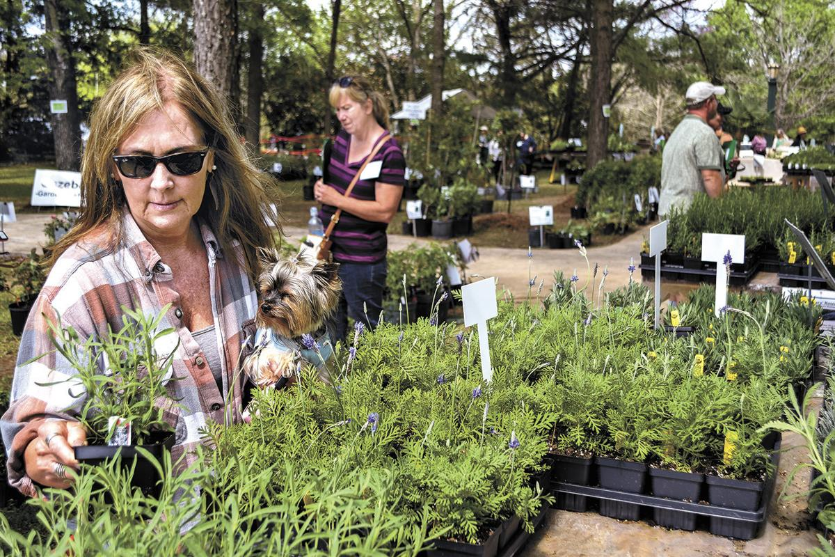 Finding the perfect lavender plant