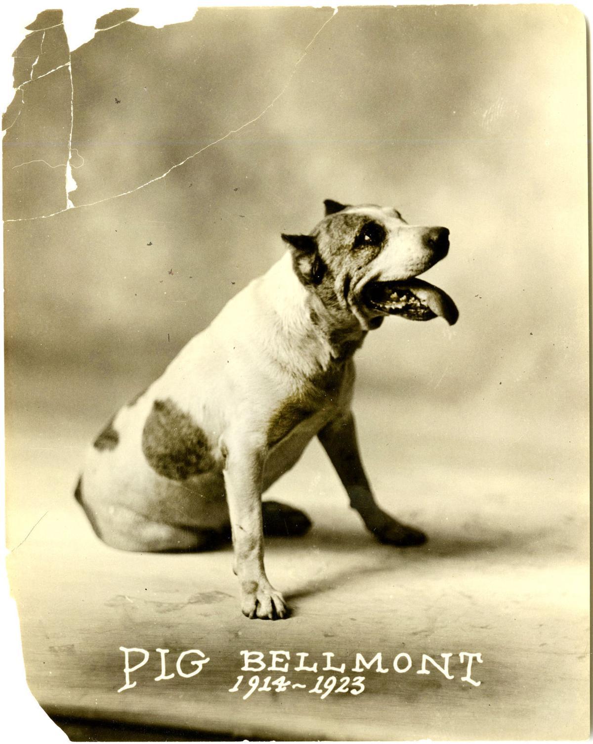 Pig Belmont