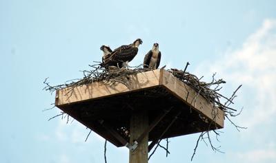 Pair of Ospreys returns to nest.