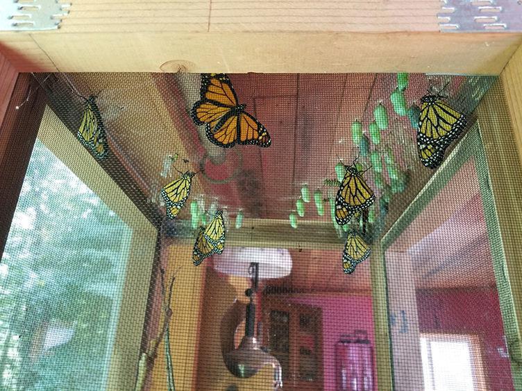 Monarch Butterflies - habitat