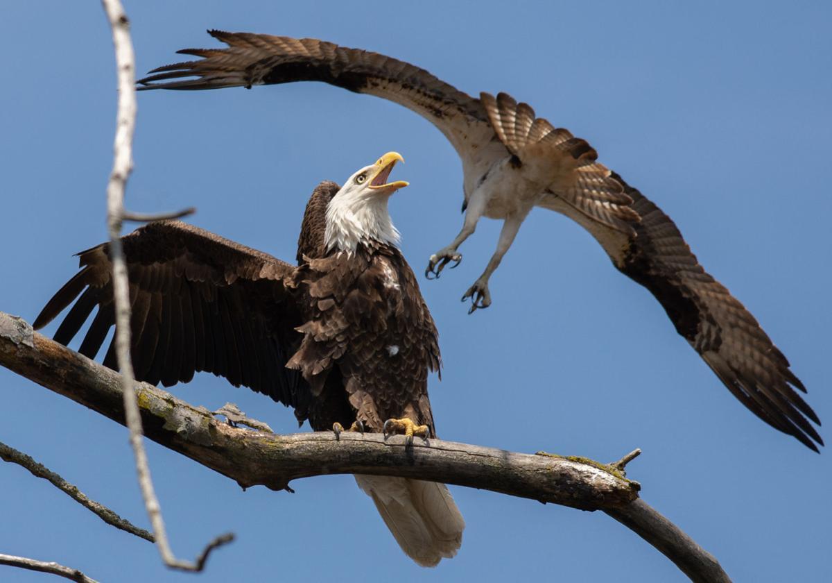 nathan-johnson---bald-eagle-w_-osprey