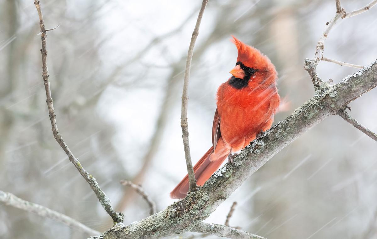 nathan-johnson---northern-cardinal