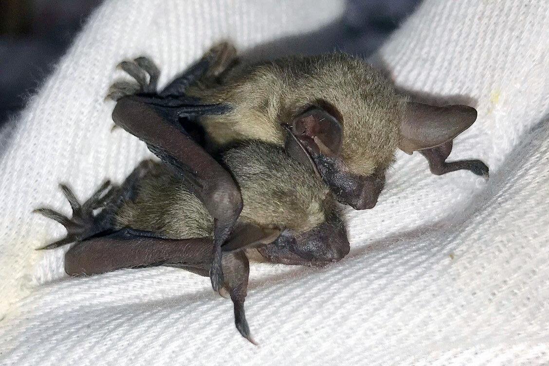 Wildcare-bat.jpg