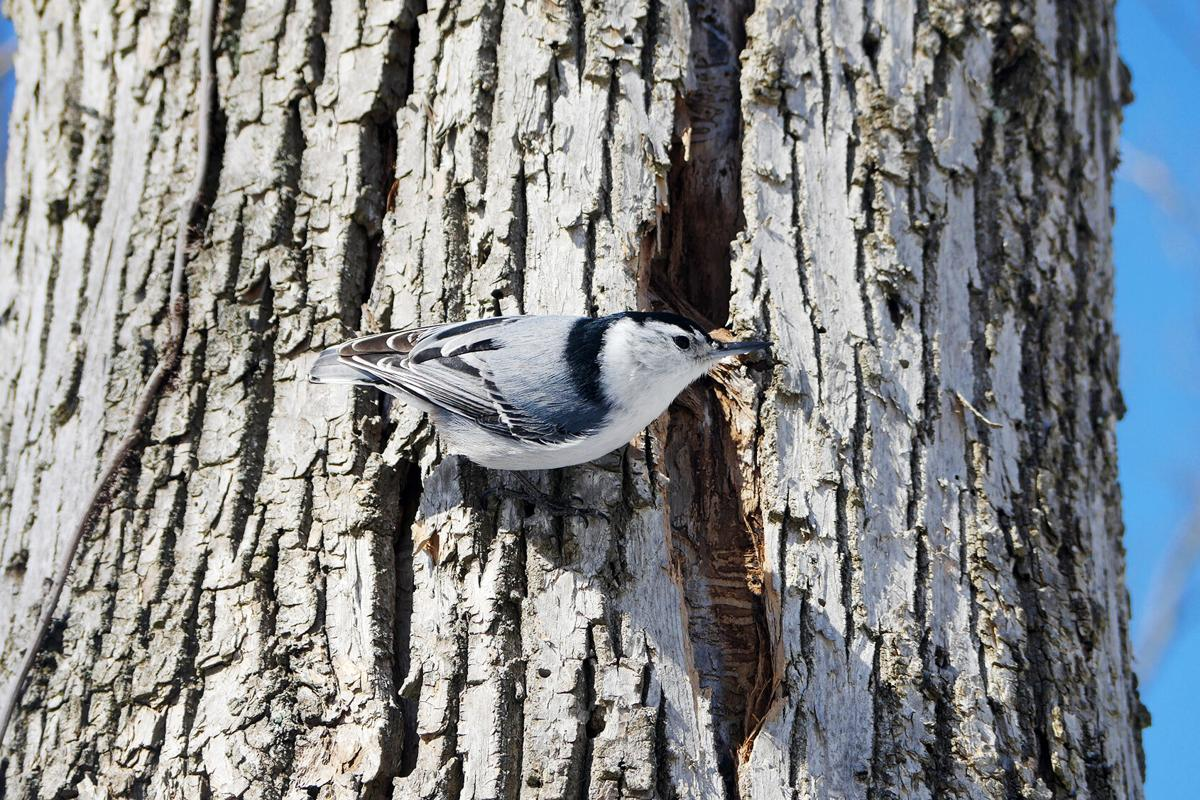 White-breasted-nuthatch.jpg