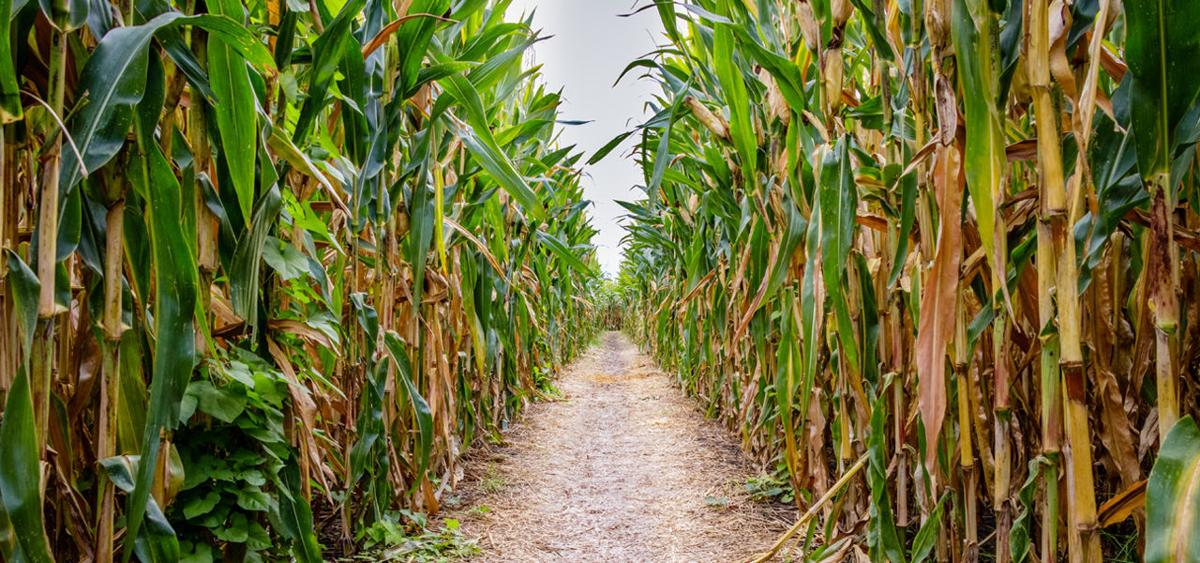 navigating wny corn mazes_website_buffalomagazine