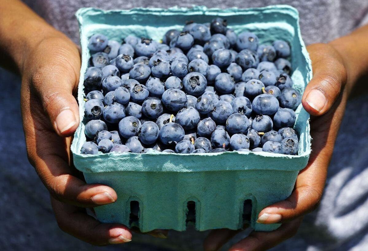 Awald Farms blueberries picking quarts