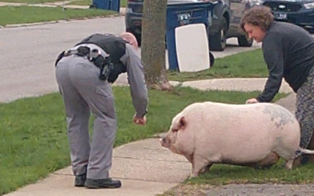 Pig-Amherst-Police-Eggertsville-crop