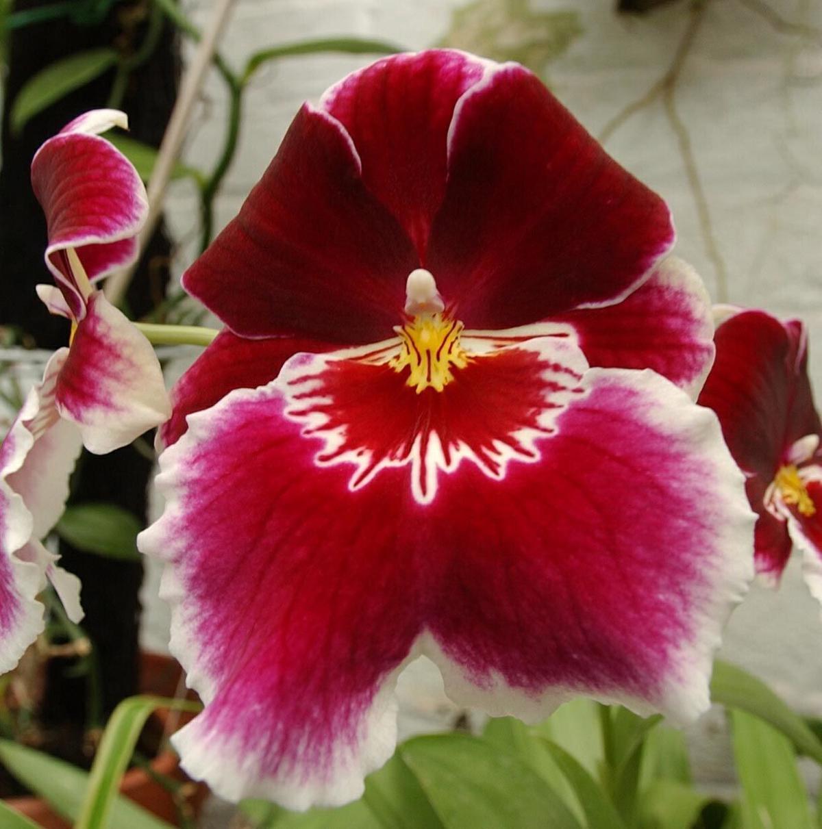 Miltonia orchid