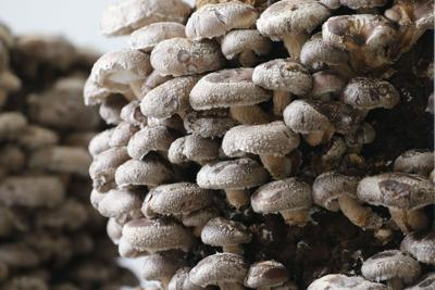Find Flat 12 mushrooms in quiche, pastries and even mushroom coffee