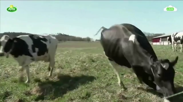 Swedish cows jump for joy after long winter