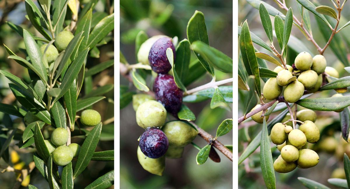 Olive varieties