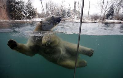 Luna-Polar-Bear-Buffalo-Zoo-Winter-Mulville