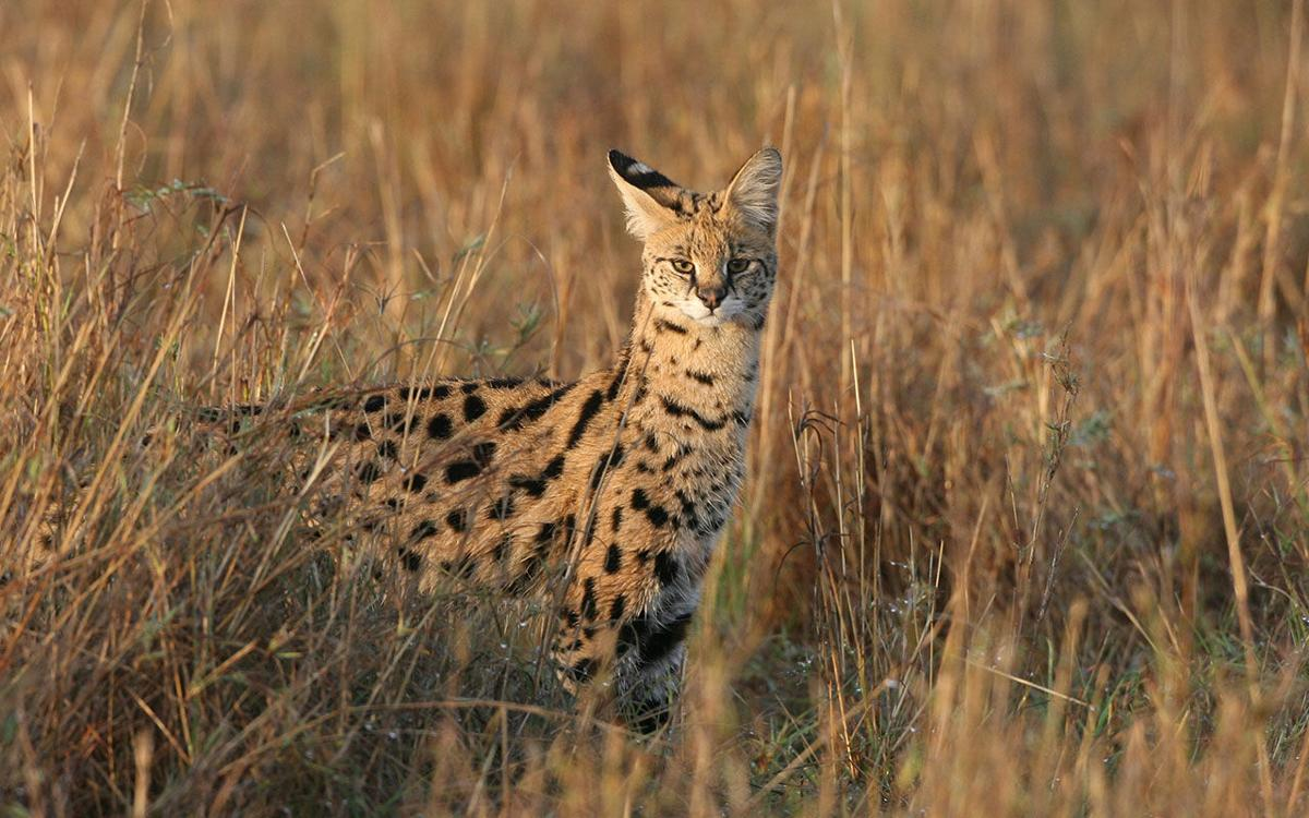 Kenyan Safari serval