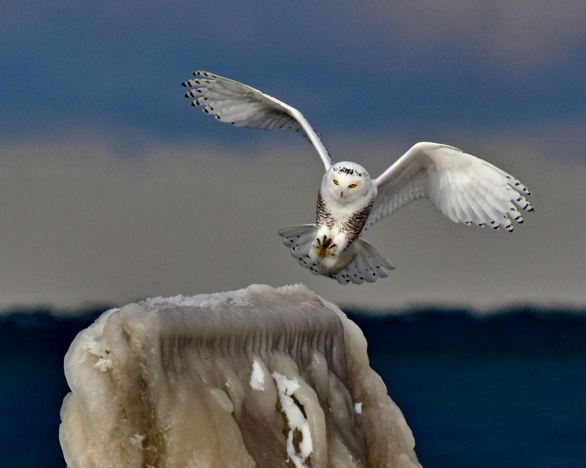 Snowy owl on the Wilson pier