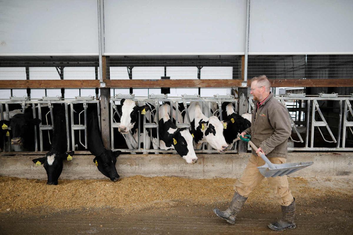 Mallards Dairy Farm feed cows (copy)